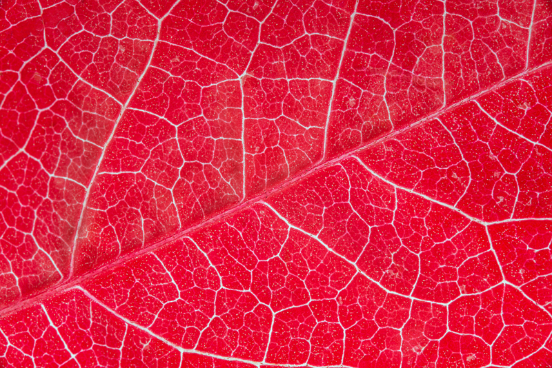 Red autumn leaf. The multiple lines create a very interesting design
