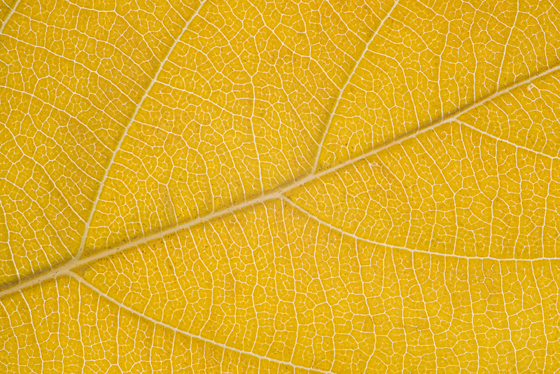 Yellow autumn leaf. The multiple lines create an interesting design.