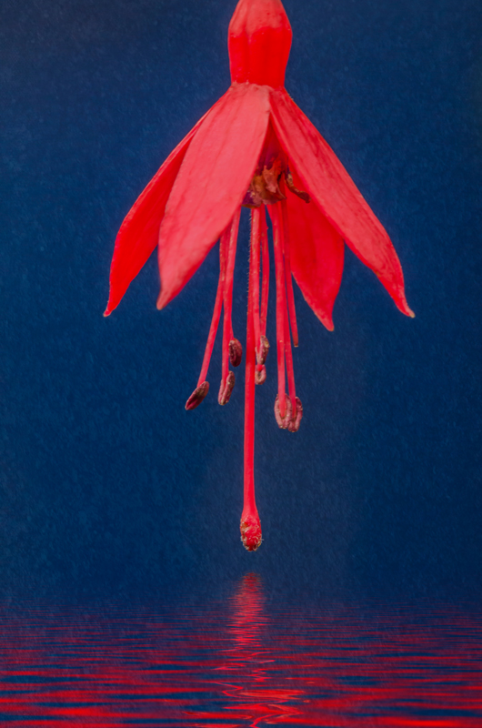 Red flower and reflection against a blue background