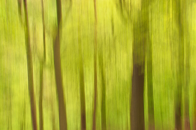 Blackford Hill Edinburgh impressionist picture of spring forest using the panning technique