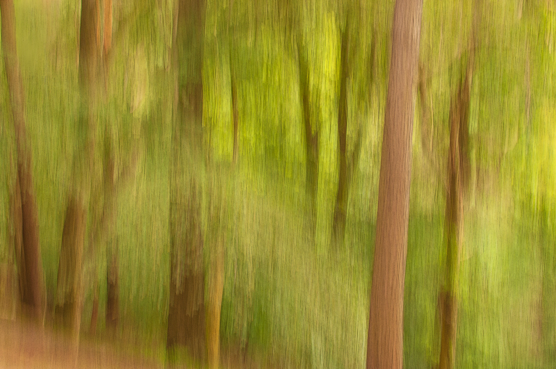 Another Blackford Hill Edinburgh impressionist picture of spring forest using the panning technique