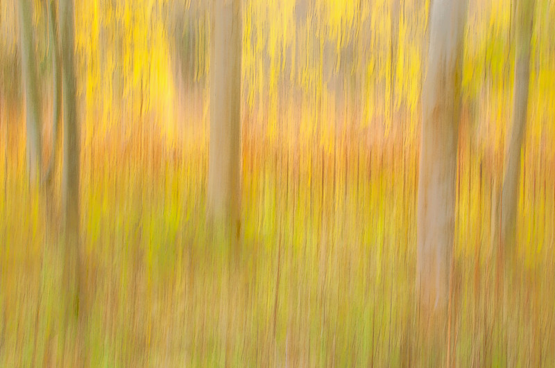 Panning picture of a few trees with fall colours on Blackford Hill, Edinburgh