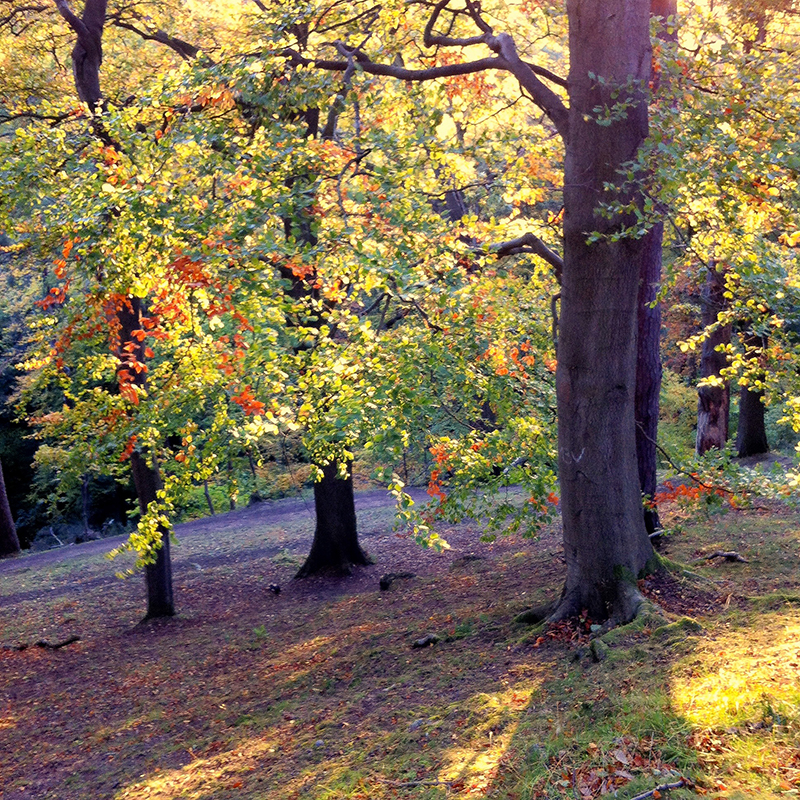 Blackford Hill,  Edinburgh. Forest with fall colours shot with iPhone.