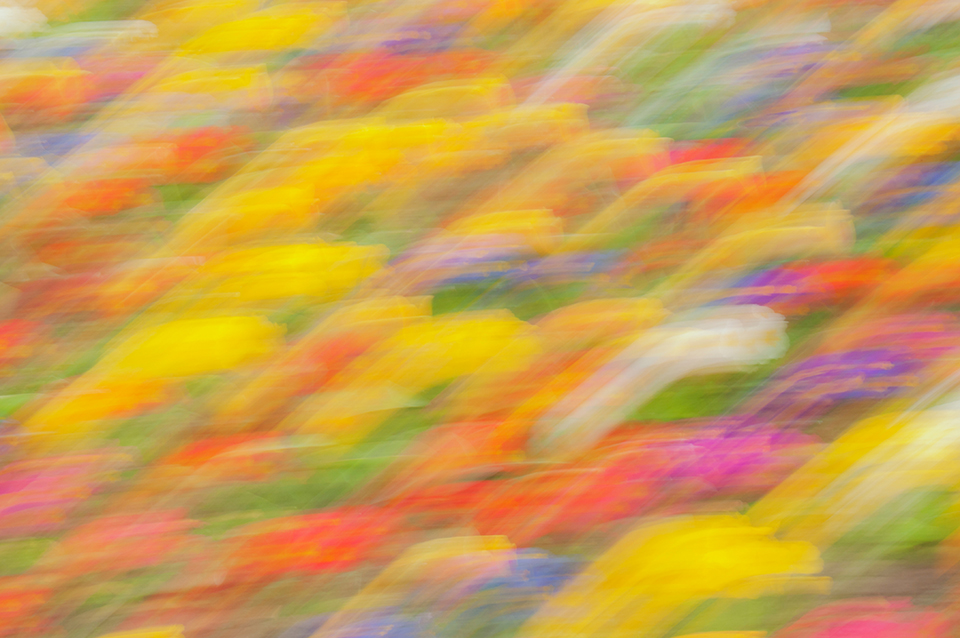 Colour abstract obtained by panning the camera over a bed of spring flowers